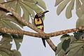 Collared Aracari (Pteroglossus torquatus) (5771789847).jpg