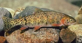 Colorado River cutthroat trout - Image: Colo river cutthroat BLM