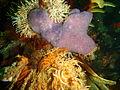 Colonial ascidian at Rambler Rock south reef P9078429.JPG