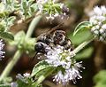 Colpa quinquecincta. Scoliidae - Flickr - gailhampshire.jpg