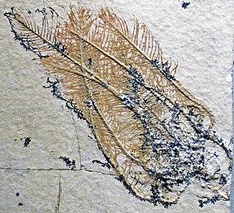 Comatulida - Comatula pinnata, a fossil crinoid from the  Solnhofen limestone
