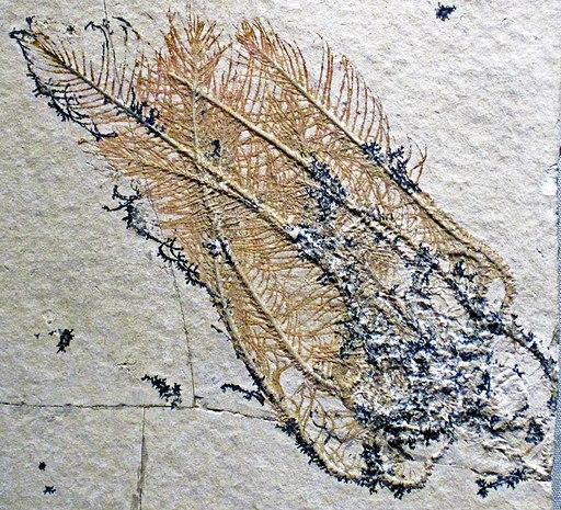 Comatula pinnata (fossil crinoid) Solnhofen Limestone