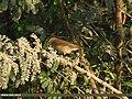 Common Chiffchaff (Phylloscopus collybita) (15894106285).jpg