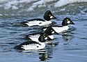 Common Goldeneye Drakes on Seedskadee NWR (24660967342).jpg