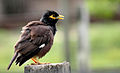 Common Myna or Indian Myna (Acridotheres tristis).JPG