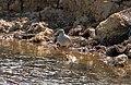 Common Redshank (Tringa totanus) 2 (23289301182).jpg