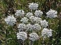 Common hogweed (Heracleum sphondylium) (28725783156).jpg