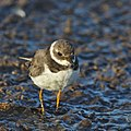 Common ringed plover, Charadrius hiaticula, at Marievale Nature Reserve, Gauteng, South Africa (31649780878).jpg