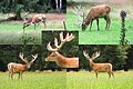 Composition of the male deer with 18 tip antlers, when searching for grass at NP Hoge Veluwe - panoramio.jpg