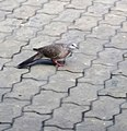 Con cu cườm trên đường phố lát đá (3).jpg