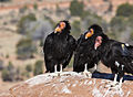 Condors on the Rise (15355956591).jpg