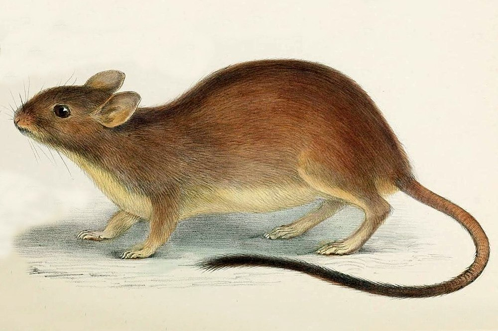 The average adult weight of a Brush-tailed rabbit rat is 175 grams (0.39 lbs)