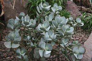Storage organ - Crassula arborescens, a leaf succulent