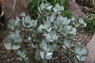 Storage organ - Crassula arborescens, a leaf succulent