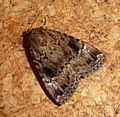Copper Underwing. Amphipyra pyramidea - Flickr - gailhampshire.jpg