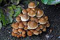 Coprinellus micaceus. (33150743183).jpg