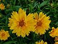 "Coreopsis grandiflora ""Heliot"" 3.JPG"