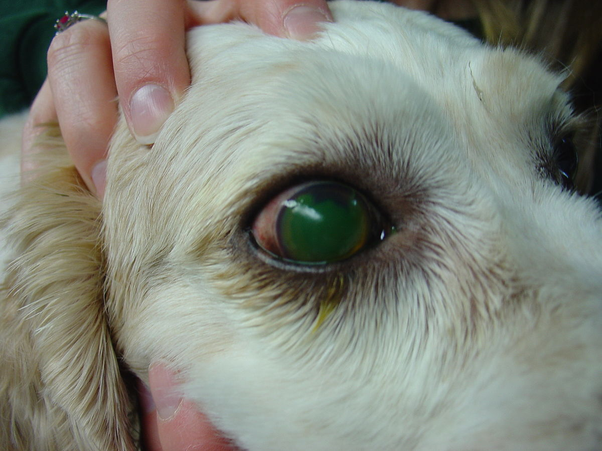 Dog Eye Ulcers Healing