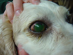 English: Large superficial corneal ulcer in a ...