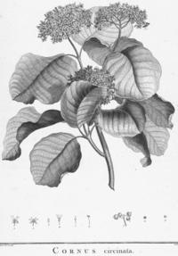 Cornus rugosa HdB