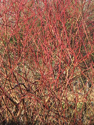 Cornus sanguinea - Cornus sanguinea stems in winter.