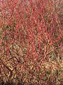 Cornus sanguinea, winter.jpg