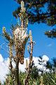 Corsica Bavella Pinus niga laricio Pine Processionary nest.jpg
