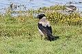 Corvus cornix (28517075204).jpg