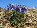 Corydalis fumariifolia azurea 20140424 01.jpg