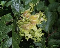 Corylus americana0