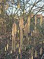 Corylus avellana, hazelnoot 'Cosford' (1).jpg
