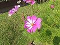 Cosmos bipinnatus De Gasperi 01.jpg