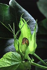 180px-Cotton_bullworm.jpg