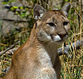Cougar 1 (7974448176).jpg