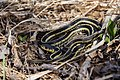Couleuvre rayée (Thamnophis sirtalis).jpg