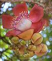 Couroupita guianensis flower.JPG