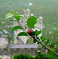 Crab Apple, Glenveagh Castle - geograph.org.uk - 899607.jpg