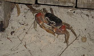 Similan Islands - A hairy-legged mountain crab, Ko Miang