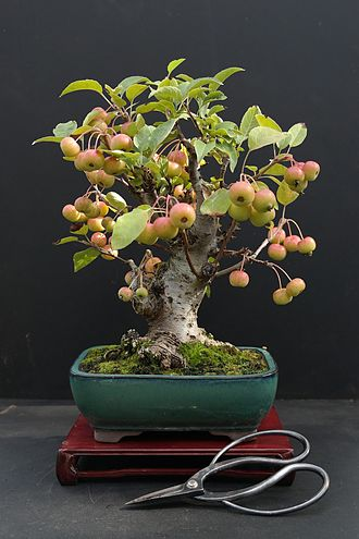 Malus - Crabapple bonsai tree taken in August