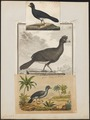 Crax alector - 1700-1880 - Print - Iconographia Zoologica - Special Collections University of Amsterdam - UBA01 IZ16900069.tif