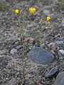 Crepis tectorum Oulu, Finland 12.06.2013.jpg