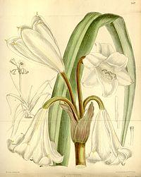Crinum abyssinicum.jpg