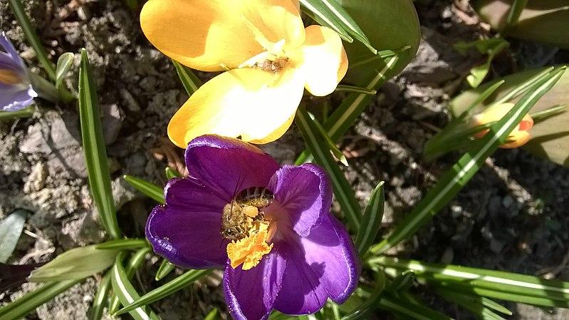 File:Crocus and honey bee.jpg