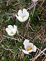 Crocus vernus (safra de muntanya) (17278009812).jpg