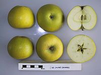 Cross section of De Jaune, National Fruit Collection (acc. 1947-143).jpg