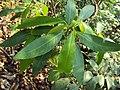 Croton persimilis 03.JPG