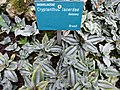 Cryptanthus lacerdae.JPG