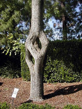Axel Erlandson - Cube Tree