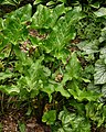 Cuckoo Pint Arum italicum Older Plant 2392px.jpg