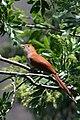 Cuclillo Canela, Squirrel Cuckoo, Piaya cayana (13362731784).jpg